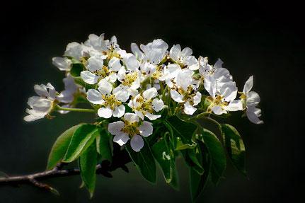 La galerie de Mateo, Mateo Brigande, bouquet floral, fleurs, botanique, nature, végétaux, floraison, pétales fleurs de cerisier