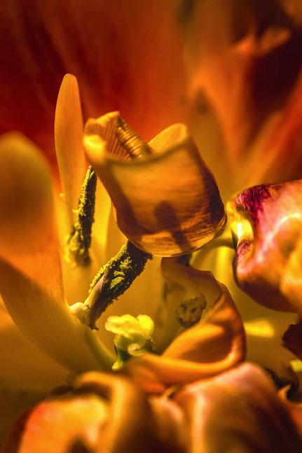 La galerie de Mateo, Mateo Brigande, fleurs, botanique, nature, végétaux, tulipe, macro,