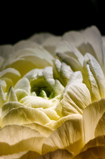 La galerie de Mateo, Mateo Brigande, renoncule,fleurs, botanique, nature, végétaux, macro, pétales