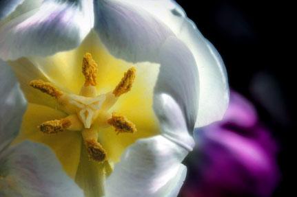 La galerie de Mateo, Mateo Brigande, tulipe, fleurs, botanique, nature, végétaux, macro, pétales, pistil, étamine