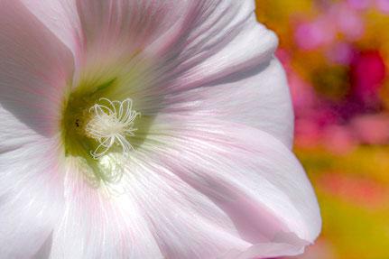 La galerie de Mateo, Mateo Brigande, Rose trémière, fleurs, botanique, nature, végétaux, macro, pétales, pistil étamine,