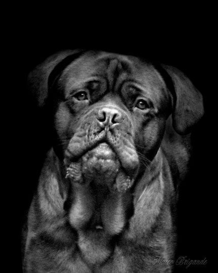 La galerie de Mateo,  Mateo Brigande,animal domestique, chien, dogue de Bordeaux