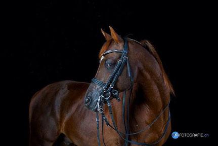 """Die Fotovorlage von Dressurpferd und Araberhengst """"Bolero Ibn El Sueno"""" (Foto: www.af-fotografie.ch)"""