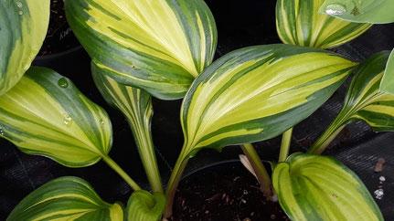 Hosta 'lancifolia'