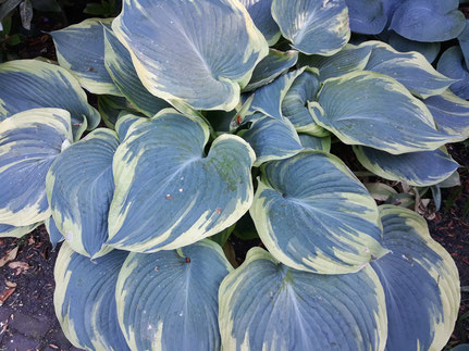 Hosta 'Flemish Angel'