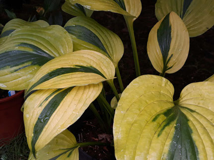 Hosta 'Marrakesh'
