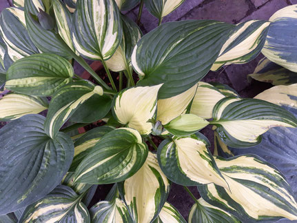 Hosta 'Chiemsee Surprise'