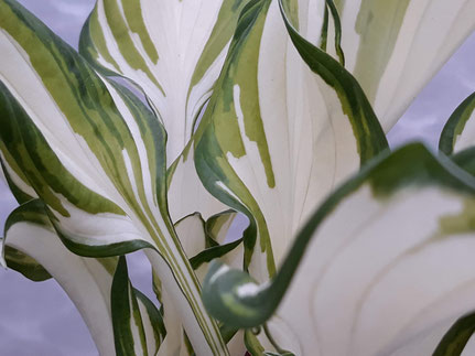 Hosta 'Something Different'