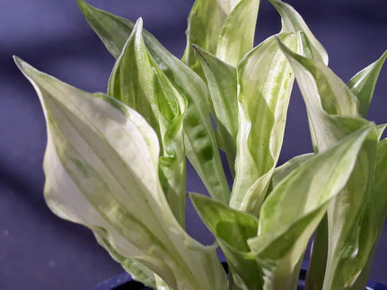 Hosta 'Alley Oop'