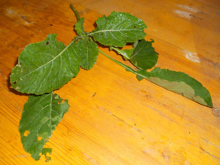 Rapspflanze vor Verfütterung