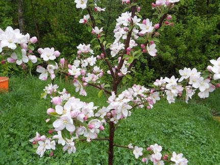 Apfel- oder Birnenbaumzweige (für trächtige Häsinnen)