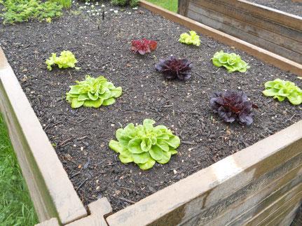 ...aus dem eigenen Garten (z.B. Salat)