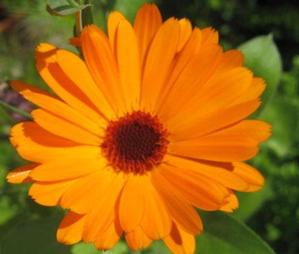 Calendula Ringelblume  - Samenbomben: Blütenpracht selbst gemacht - Naturabilis