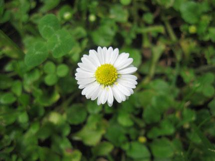Gänseblümchen - Naturabilis