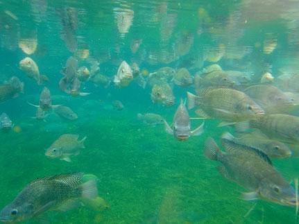 pisciculture dorme jura etang carpe
