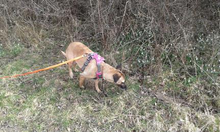 Haselmaus-Spürhund