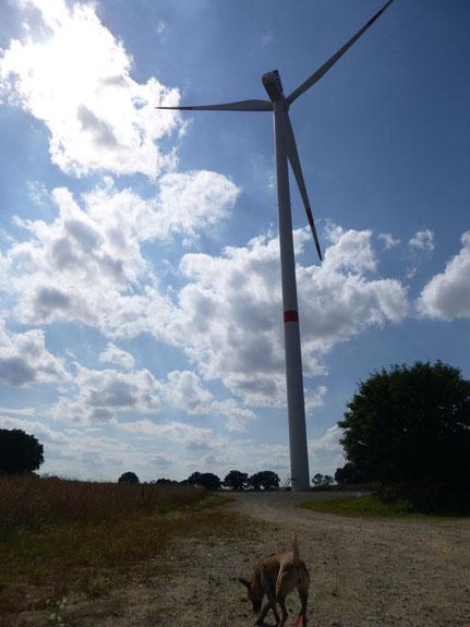 Spürhund zur Schlagopfersuche im Windpark