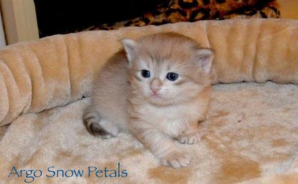 Argo Snow Petals, male SIB ay 23