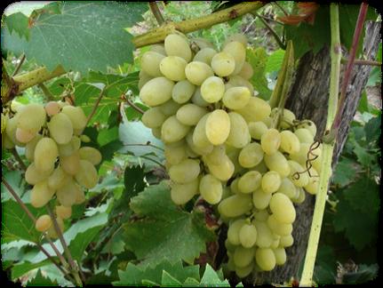 果園中有許多葡萄