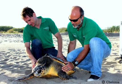 Liberación de tortuga boba con transmisor satelital