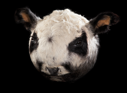 Géza Szöllősi, My Pets, Taxidermy, Hungarian Panda /Hungarian gray/II., 2014, taxidermied cow head, ø 50 cm