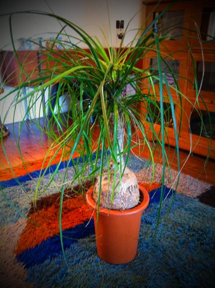 「ポニーテールが大きく育ち過ぎて置き場所が、、、貰ってもらえません?」って、電話口で言われポニーテールがどんなんだかわかんないまま貰うことに、。 で、頂いたのがコレ! 見た瞬間、デカ!!って。 たまに売ってるの見る程度の植物でそんなに興味は無かったけど、もらったコレは根本が超デカくてヤバイ感じ! 鉢を変えたら超ヤバくなりそうと。
