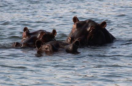 Rencontre avec les hippos de la rivière Kavango