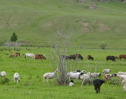 Schafherde in der Mongolei und im Hintergrund eine Pferdeherde, aufgenommen von ritsch-ratsch