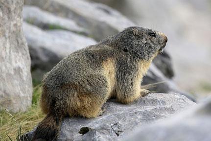 Murmeltiere leben erst seit ca. 70 Jahren in den Pyrenäen