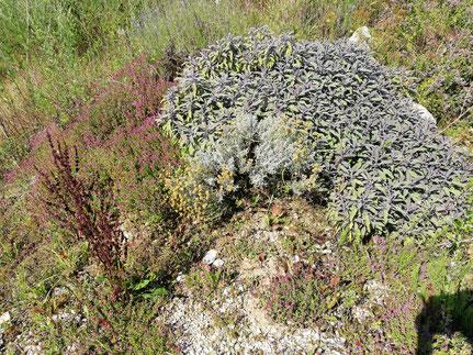 Purpursalbei, Heiligenkraut und Quendel in unserem Kräutergarten - Foto Vesna Rau