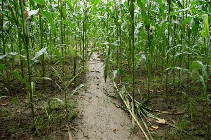 Biber, Konflikte, Schaden, Schadensersatz, Feldfrüchte, Mais
