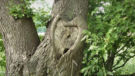 Eichenbaum mit natürlich gewachsenem Herz im Stamm