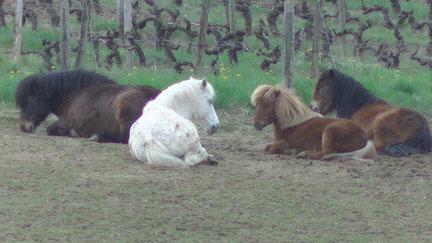 Les quatre poneys couchés ensemble heureux