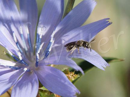 Bild: Furchenbiene an der Wegwarte