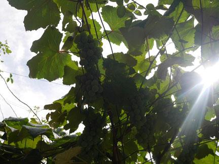 ブドウももうすぐ収穫~♪