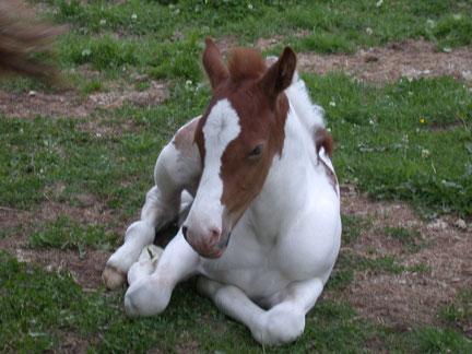 Jack ( Paint Horse Mix)