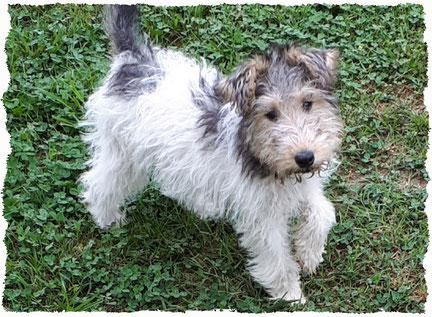 Chiot Fox Terrier à l'école pour chiots à Dax