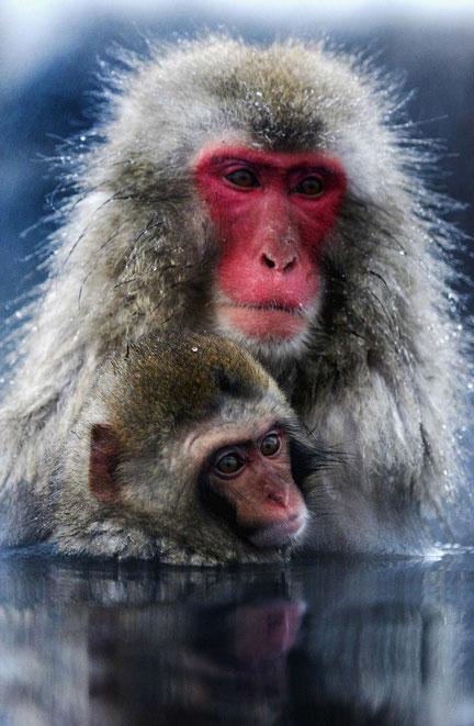 Снежные обезьяны
