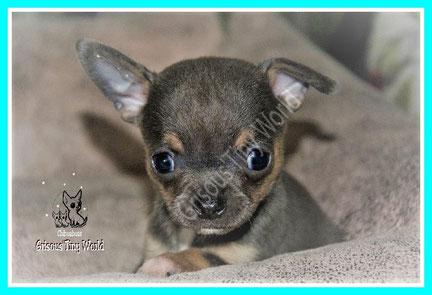 Photo d'un chiot Chihuahua bleu et tan