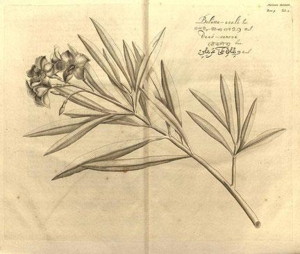 Oleander Hortus Indicus Malabaricus 2