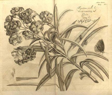 Oleander, Hortus Indicus Malabaricus 1