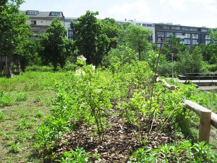 ... und nach dem Anpflanzen der Knickgehölzhecke.