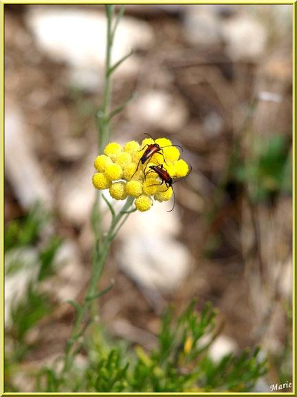 Immortelle en fleurs et petits locataires dans la garrigue des Alpilles (Bouche du Rhône)