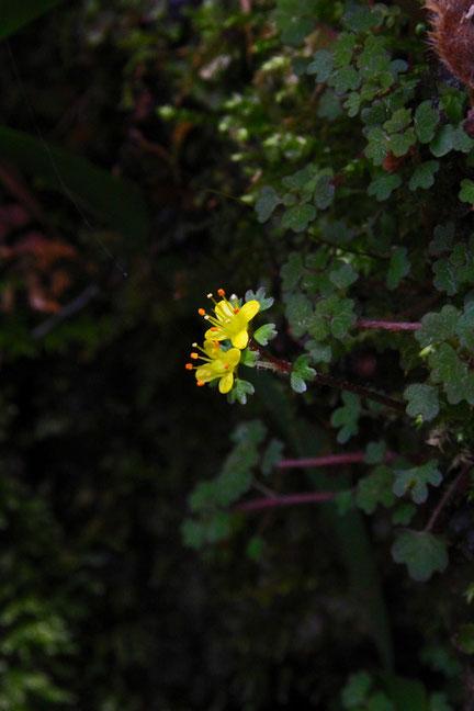 キバナハナネコノメ (黄花花猫の目) ユキノシタ科 ネコノメソウ属 alt=520m