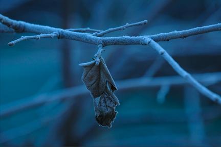 早朝の霜に覆われた枝葉
