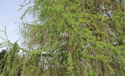 Ritter Holz Schindel Dach Die Blühende Lärche
