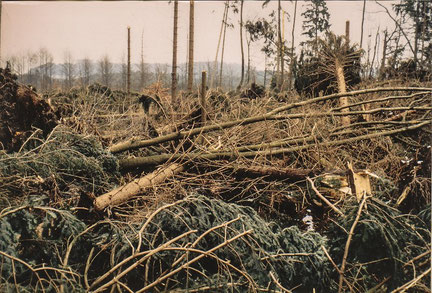 Flächenhafter Sturmwurf auf nassen Standorten (Orkan Vivien/Wiebke 1990)