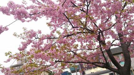 画像は近所の富士桜