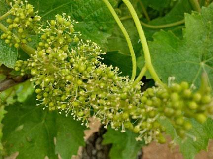 fleur-raisin-chenin-blanc-Vallee-Loire-participer-atelier-vendanges-Vouvray-Tours-Amboise-Rendez-Vous-dans-les-Vignes