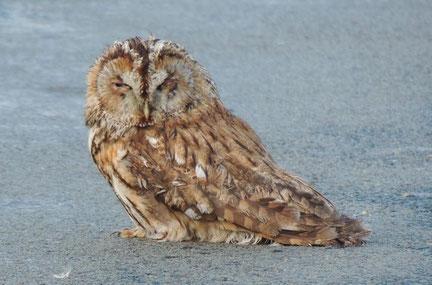 Der arme Vogel, so kauerte er mitten auf der Fahrbahn zwischen Ribbensdorf und Klinze.